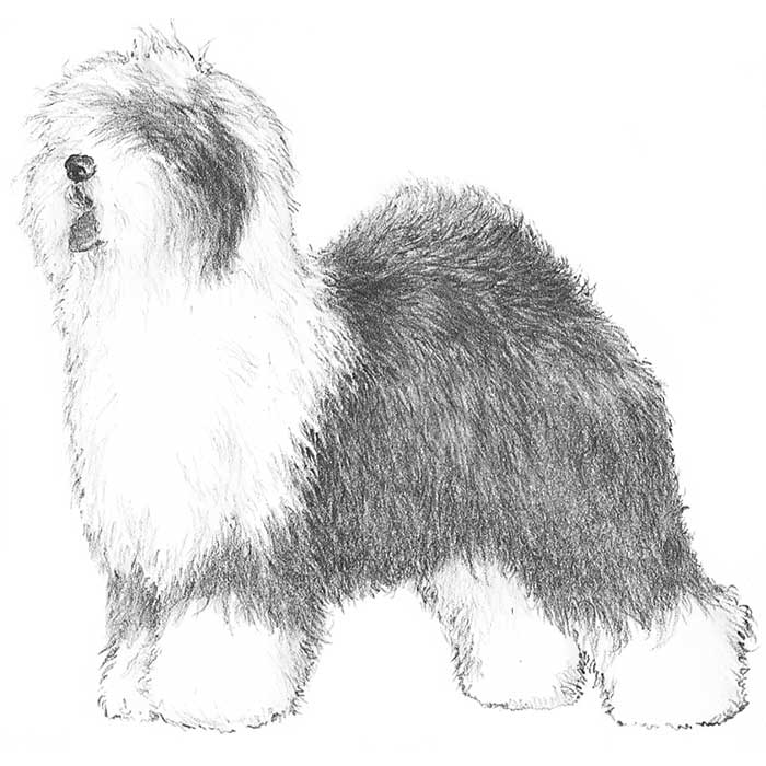 Old English Sheepdog Breed Standard Illustration
