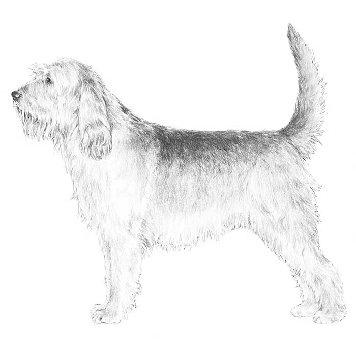 Otterhound Breed Standard Illustration