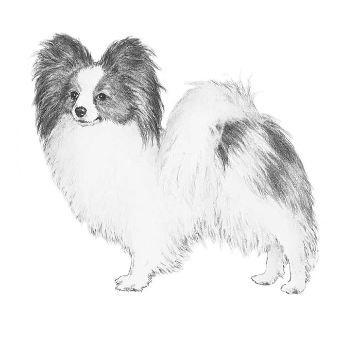 Papillon Breed Standard Illustration