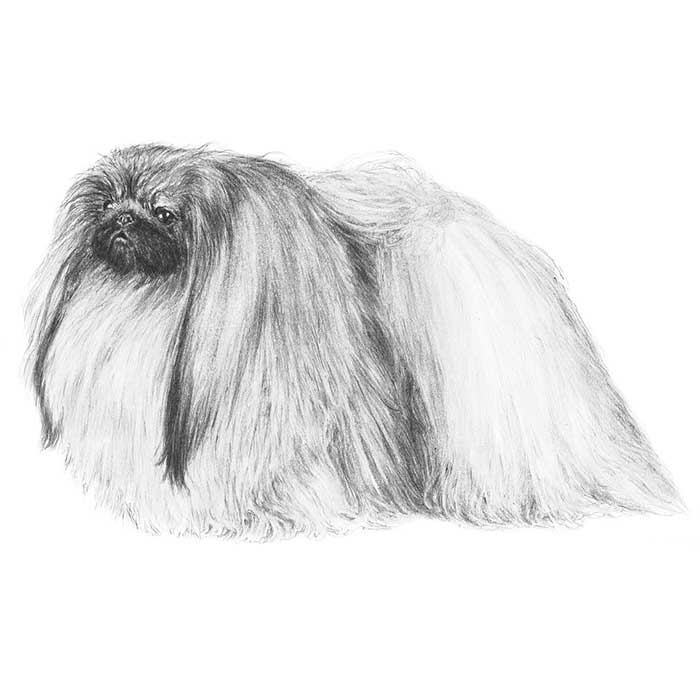Pekingese Breed Standard Illustration