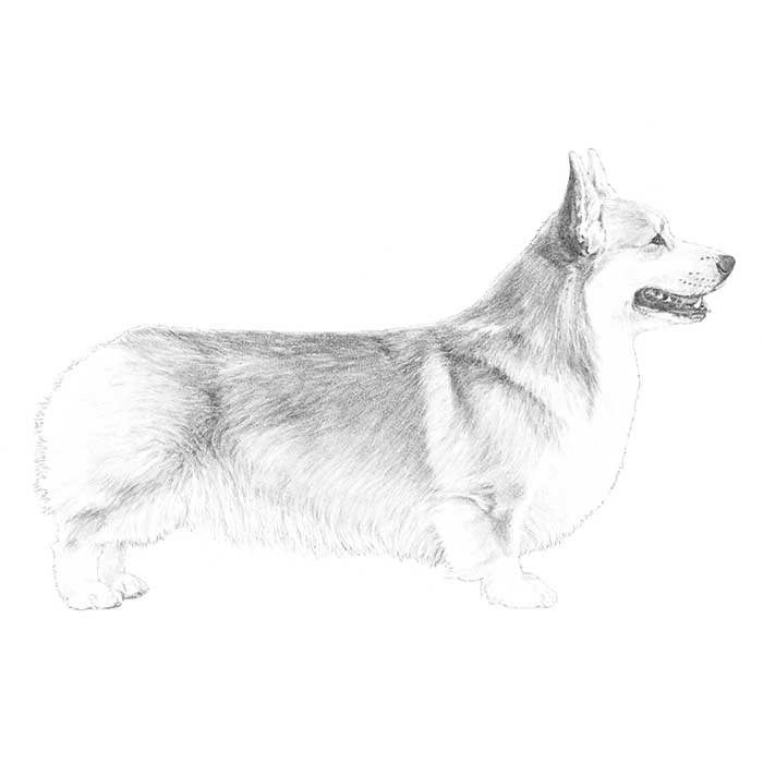 Pembroke Welsh Corgi Breed Standard Illustration