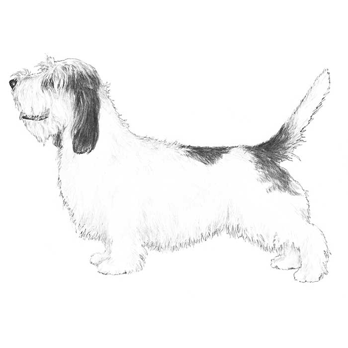 Petit Basset Griffon Vendeen Breed Standard Illustration