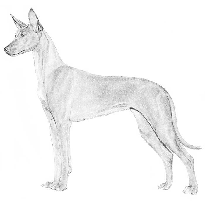 Pharaoh Hound Breed Standard Illustration