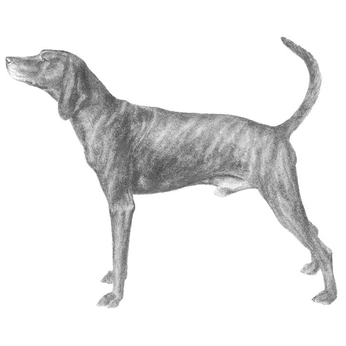 Plott Breed Standard Illustration
