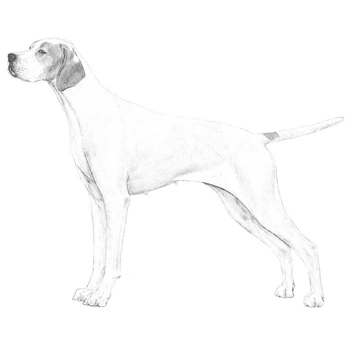 Pointer Breed Standard Illustration