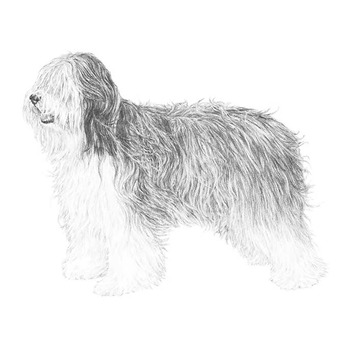 Polish Lowland Sheepdog Breed Standard Illustration