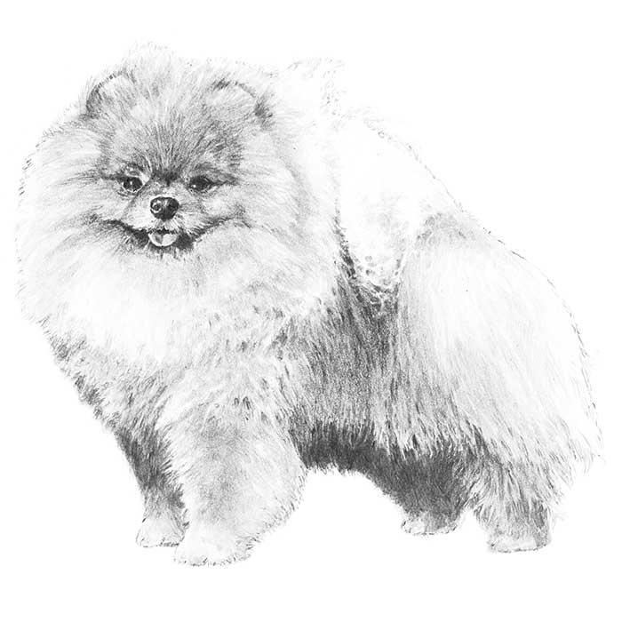 Pomeranian Breed Standard Illustration