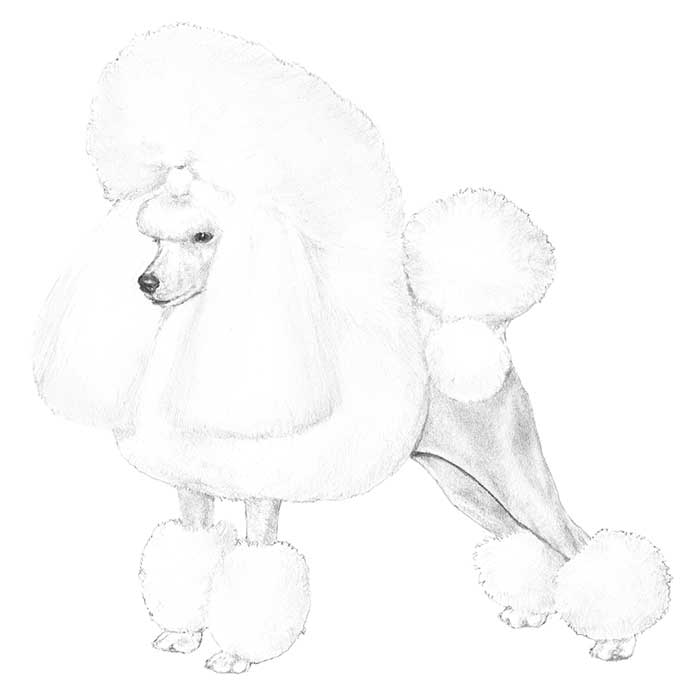 Poodle Breed Standard Illustration
