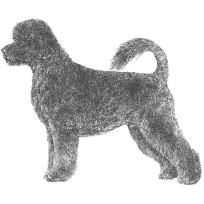 Portuguese Water Dog Breed Standard Illustration