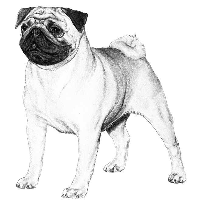 Pug Breed Standard Illustration
