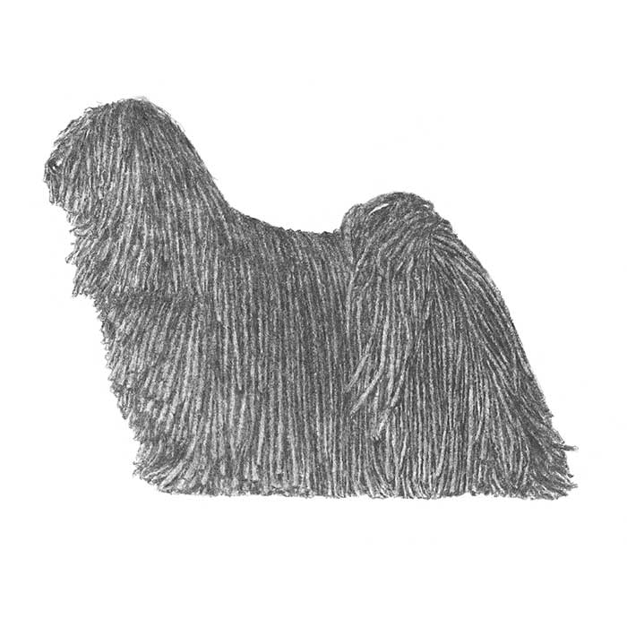 Puli Breed Standard Illustration