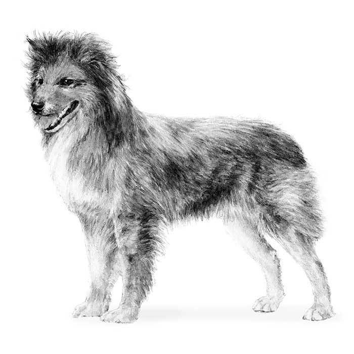 Pyrenean Shepherd Breed Standard Illustration