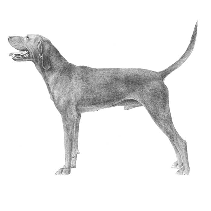 Redbone Coonhound Breed Standard Illustration