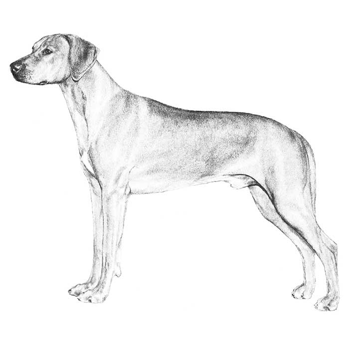 Rhodesian Ridgeback Breed Standard Illustration