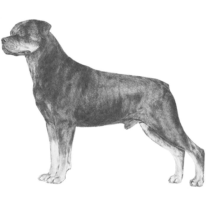 Rottweiler Breed Standard Illustration
