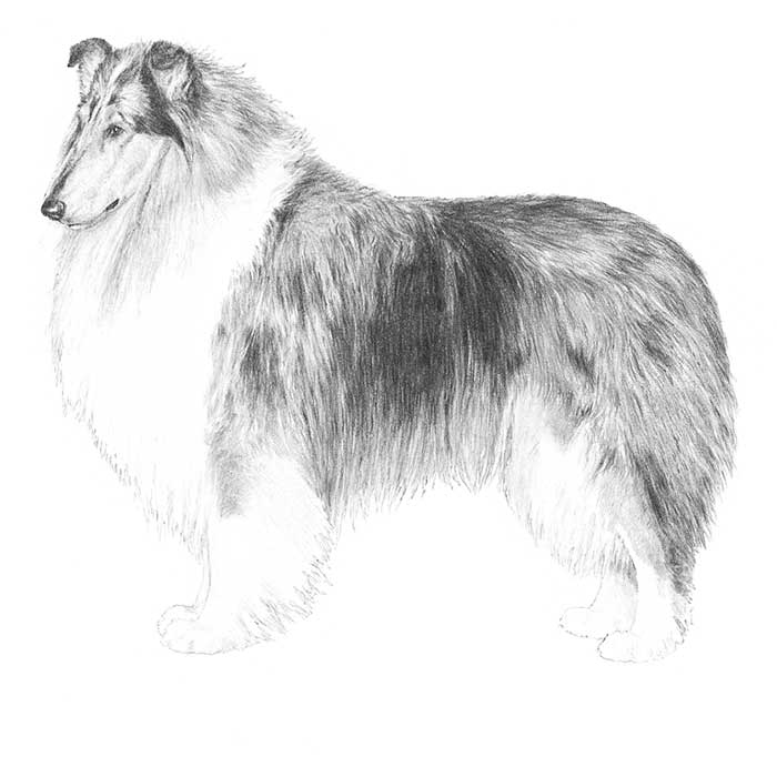 Collie Breed Standard Illustration