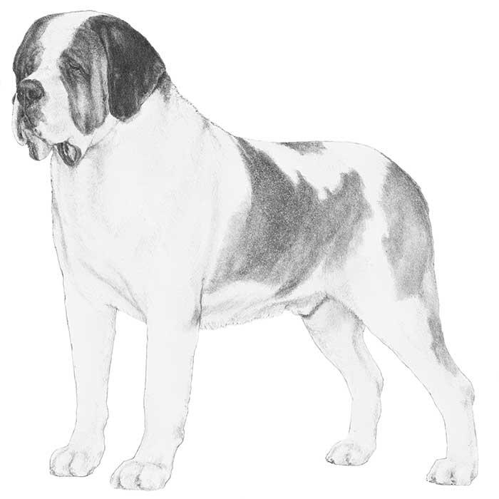 St. Bernard Breed Standard Illustration