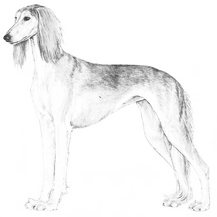 Saluki Breed Standard Illustration
