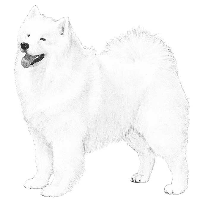 Samoyed Breed Standard Illustration