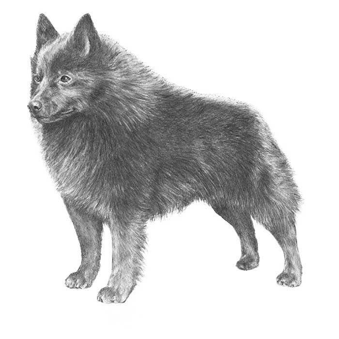 Schipperke Breed Standard Illustration