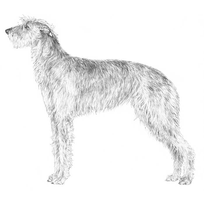 Scottish Deerhound Breed Standard Illustration