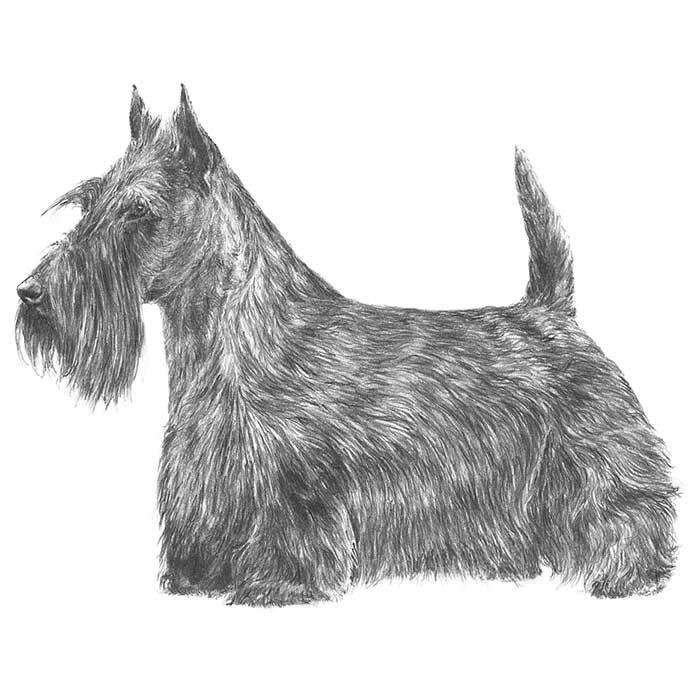 Scottish Terrier Breed Standard Illustration