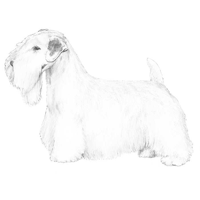Sealyham Terrier Breed Standard Illustration