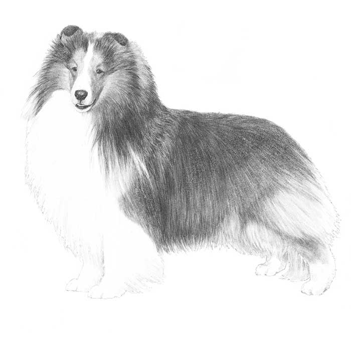 Shetland Sheepdog Breed Standard Illustration