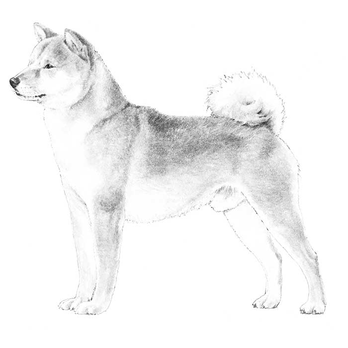 Shiba Inu Breed Standard Illustration