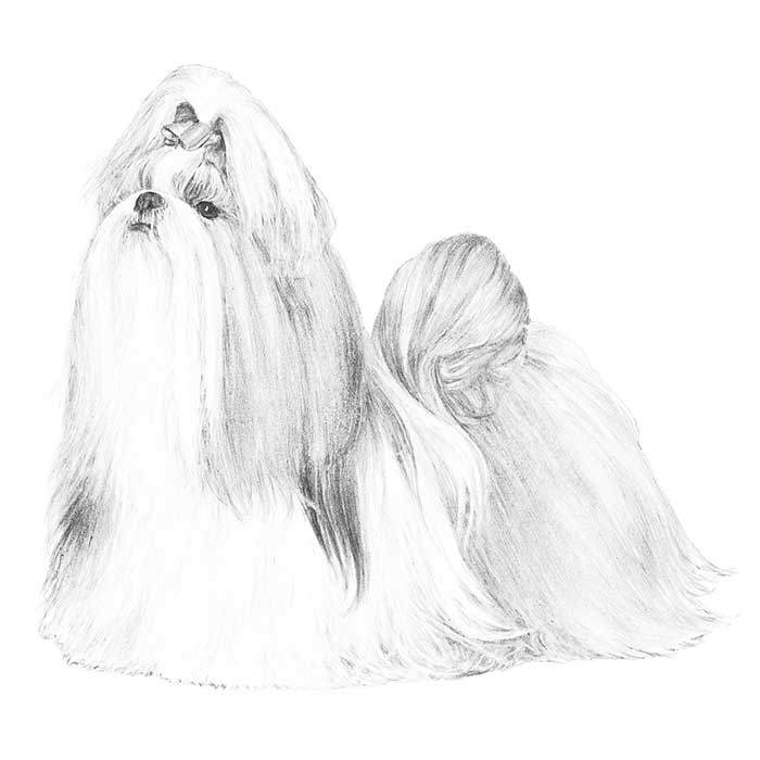 Shih Tzu Breed Standard Illustration