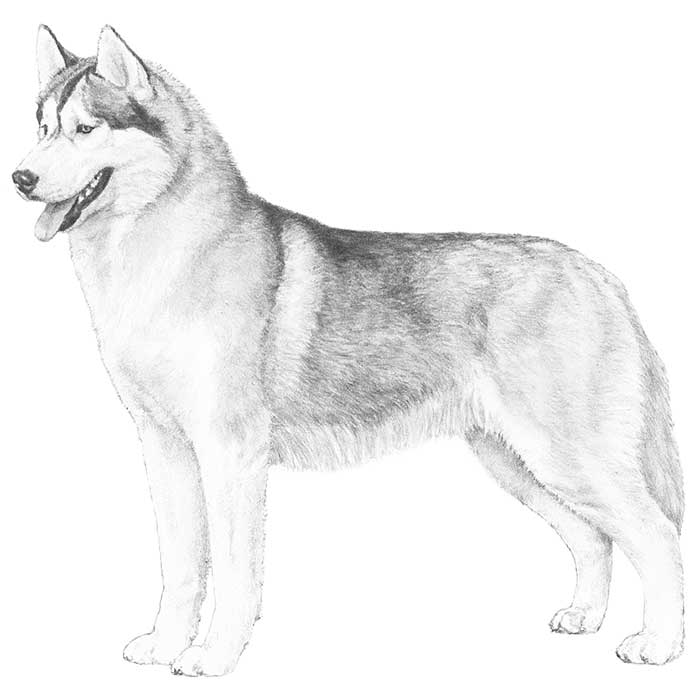 Siberian Husky Breed Standard Illustration