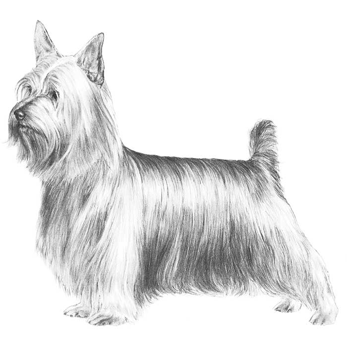 Silky Terrier Breed Standard Illustration