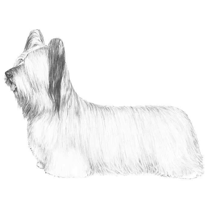Skye Terrier Breed Standard Illustration