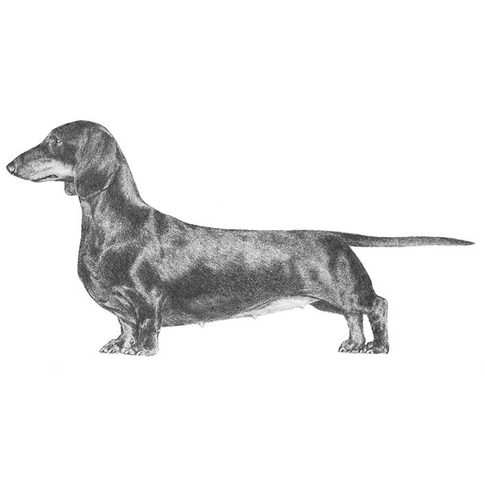 Dachshund Breed Standard Illustration