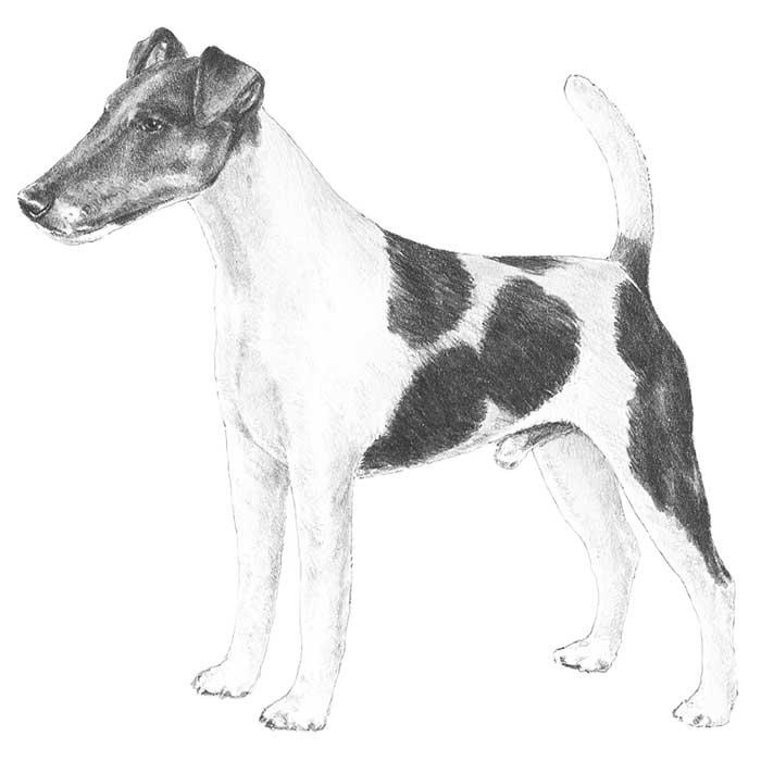 Smooth Fox Terrier Breed Standard Illustration