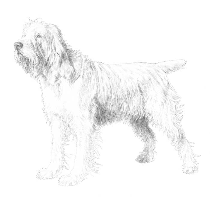 Spinone Italiano Breed Standard Illustration