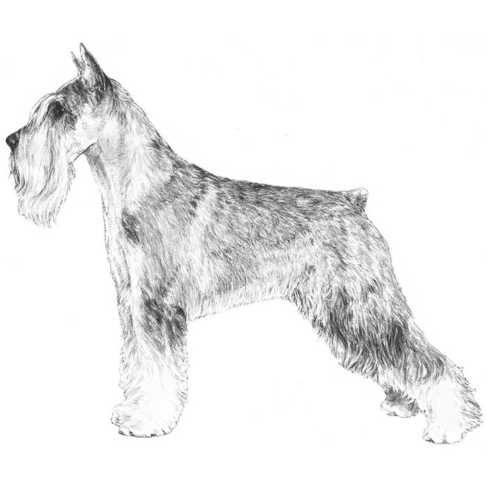 Standard Schnauzer Breed Standard Illustration