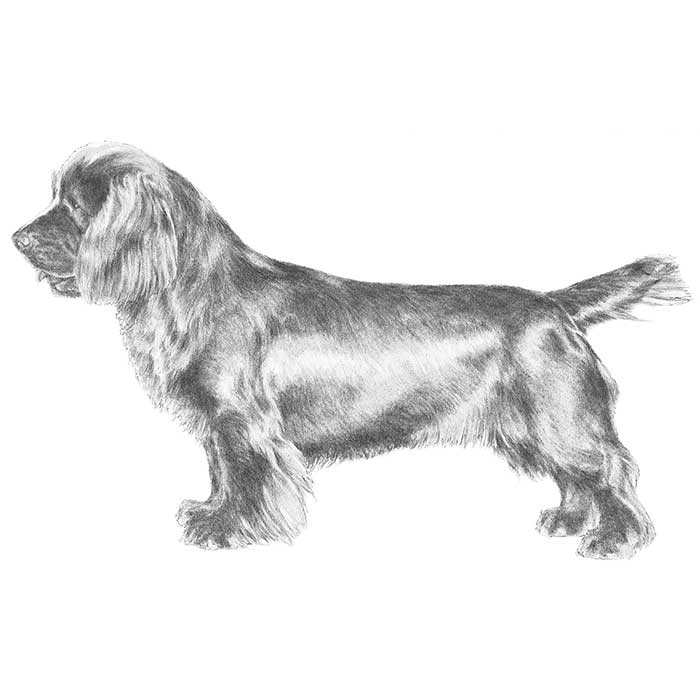 Sussex Spaniel Breed Standard Illustration