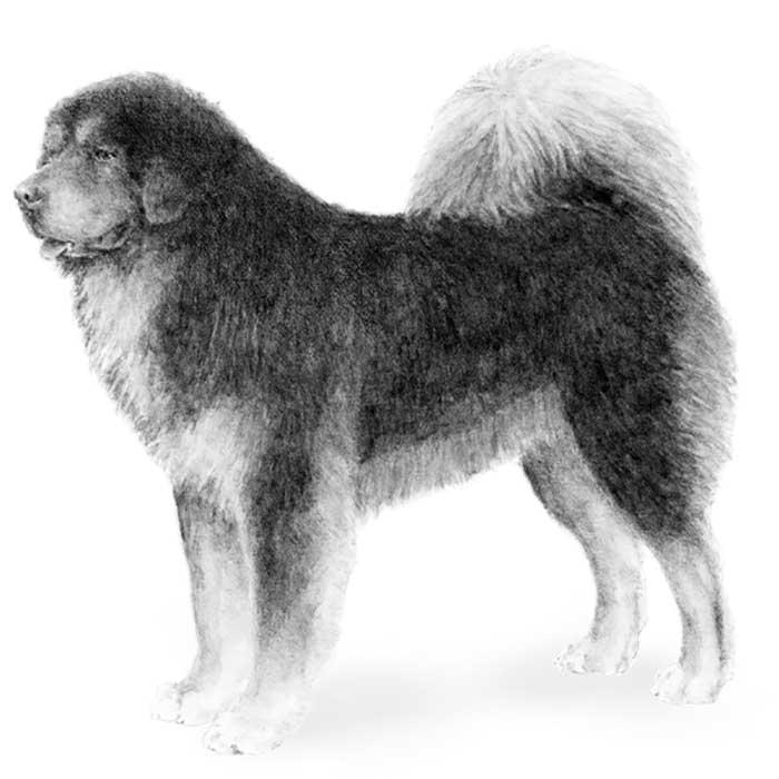 Tibetan Mastiff Breed Standard Illustration