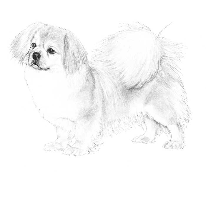Tibetan Spaniel Breed Standard Illustration