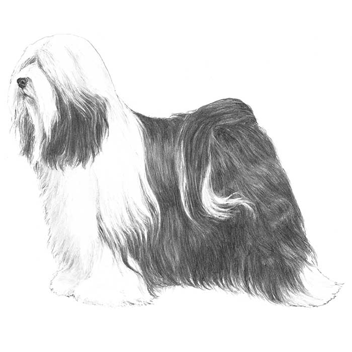 Tibetan Terrier Breed Standard Illustration