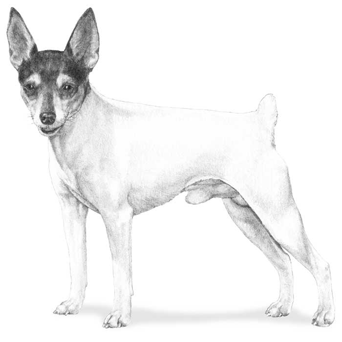 Toy Fox Terrier Breed Standard Illustration