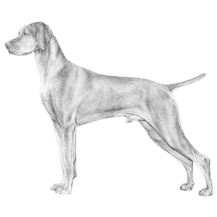 Vizsla Breed Standard Illustration