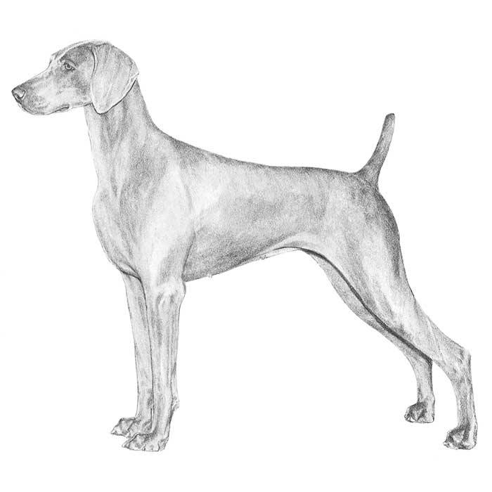 Weimaraner Breed Standard Illustration