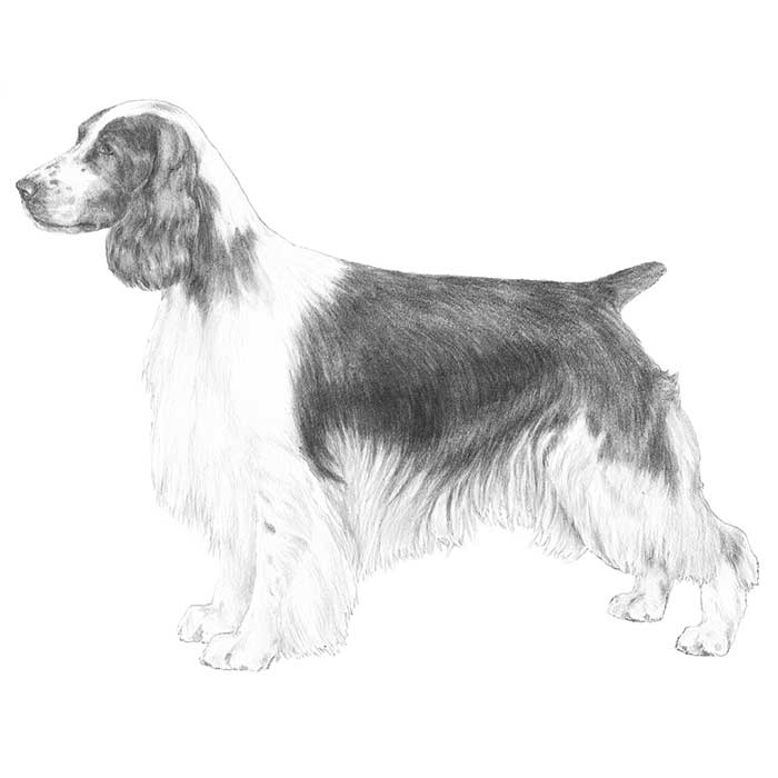 Welsh Springer Spaniel Breed Standard Illustration