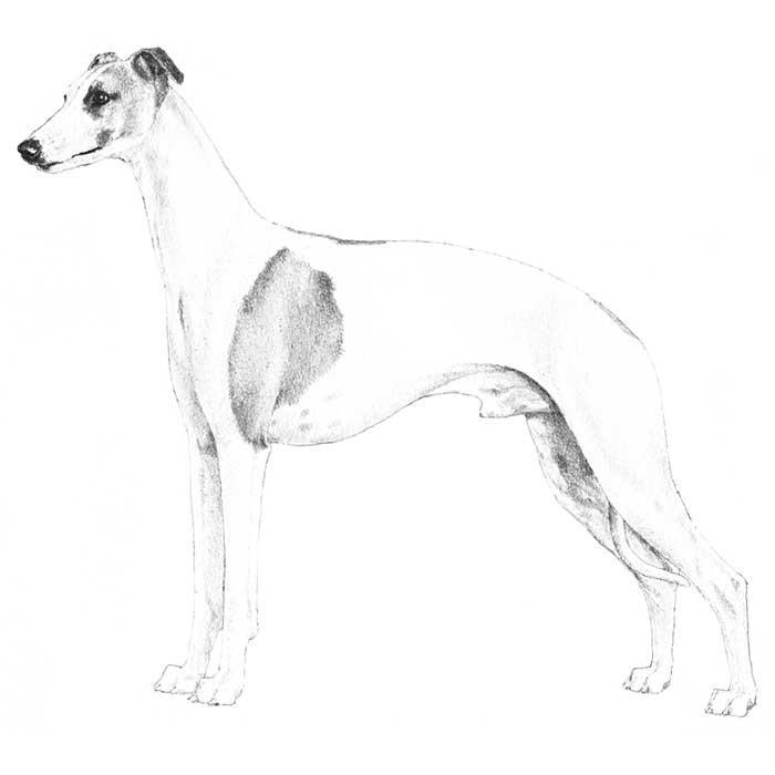Whippet Breed Standard Illustration