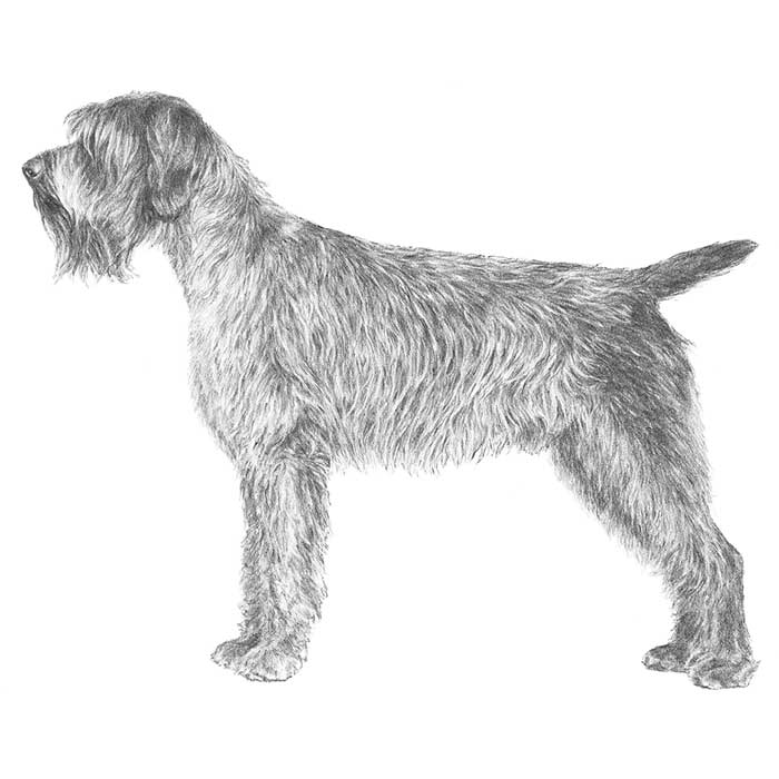 Wirehaired Pointing Griffon Breed Standard Illustration