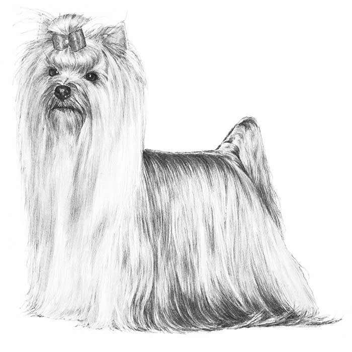 Yorkshire Terrier Breed Standard Illustration