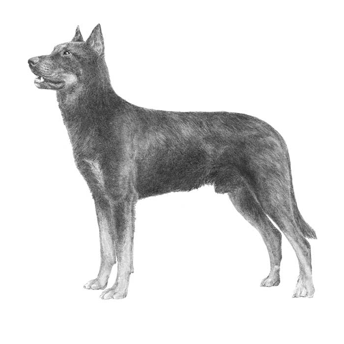 Beauceron Breed Standard Illustration
