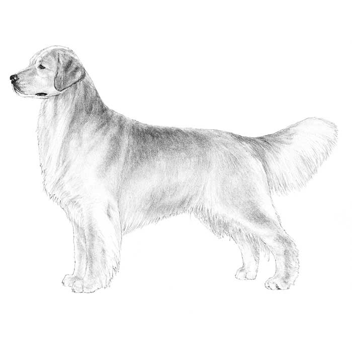 Golden Retriever Breed Standard Illustration